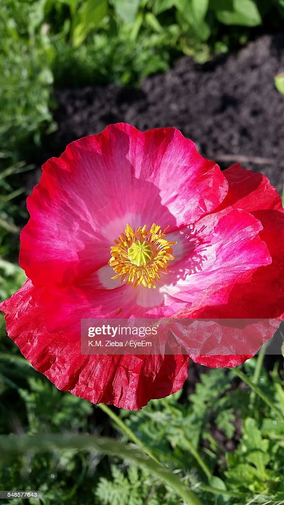 Closeup Of Opium Poppy Flower Stock Photo Getty Images
