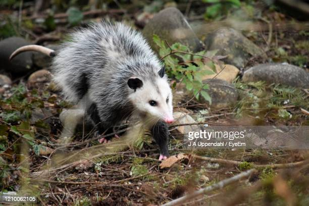 close-up of opossum on field - possum stock pictures, royalty-free photos & images