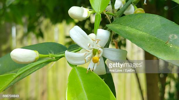 close-up of orange blossom blooming at park - orange blossom stock photos and pictures