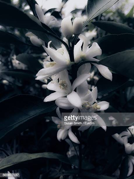 close-up of orange blossom blooming on field - orange blossom stock photos and pictures