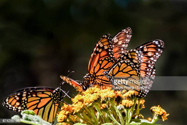 Close-Up Of Orange Butterflies On Yellow Flowers
