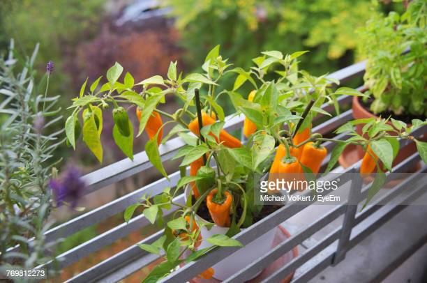 Close-Up Of Orange Chili Pepper Growing In Balcony