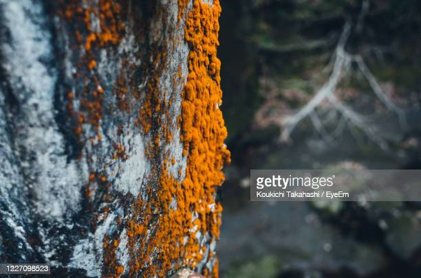 close-up of orange color moss on tree trunk - koukichi stock pictures, royalty-free photos & images