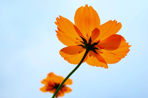 Close-Up Of Orange Cosmos Flower Against Clear Sky - gettyimageskorea