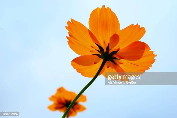 close-up of orange cosmos flower against clear sky - cosmos flower stock photos and pictures