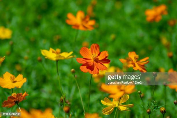 close-up of orange cosmos flowers - new orleans city park stock pictures, royalty-free photos & images