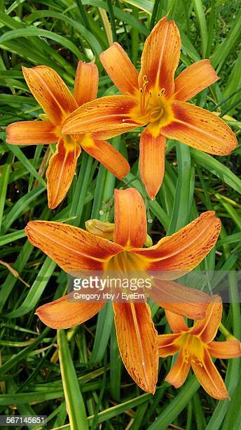 Close-Up Of Orange Day Lilies Blooming In Park