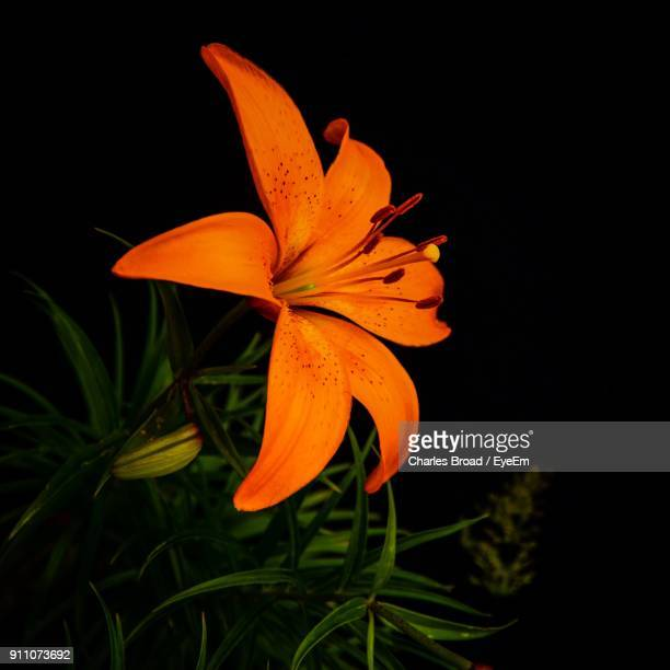 Close-Up Of Orange Day Lily Blooming Against Black Background