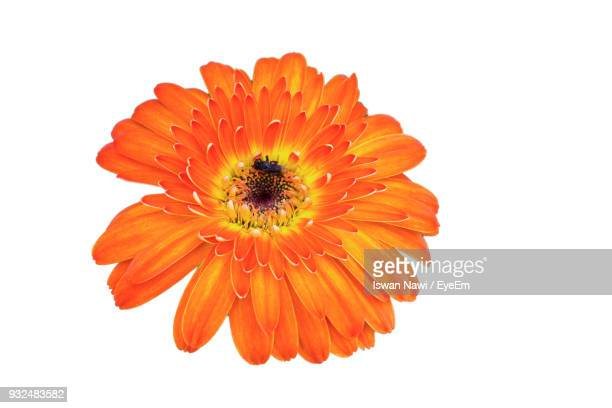 close-up of orange flower against white background - orange flower stock pictures, royalty-free photos & images