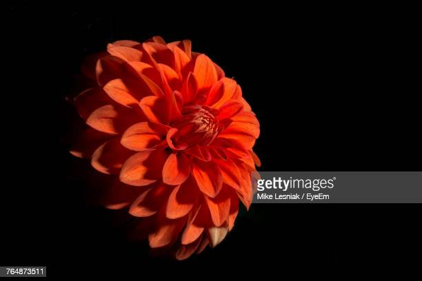Close-Up Of Orange Flower Blooming Against Black Background