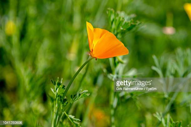 close-up of orange flower growing on field - california golden poppy stock pictures, royalty-free photos & images