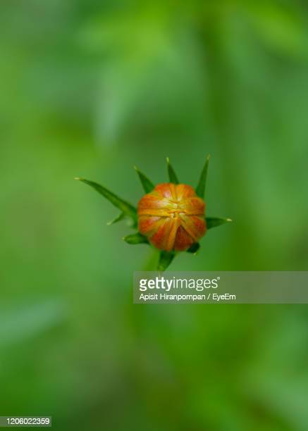 close-up of orange flower on leaf - apisit hiranpornpan stock pictures, royalty-free photos & images