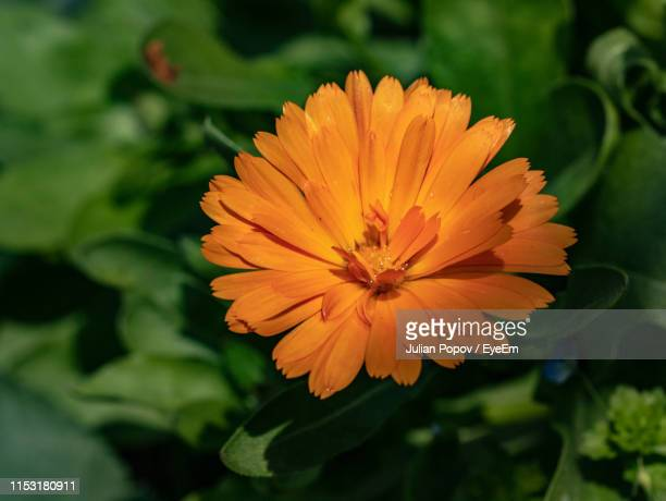 close-up of orange flower - pot marigold stock pictures, royalty-free photos & images