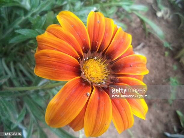 close-up of orange flower - ismail khairdine stock photos and pictures