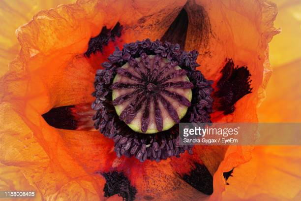 close-up of orange flower - sandra gygax stock-fotos und bilder