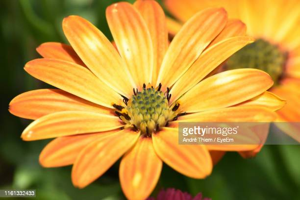 close-up of orange flower - thiem stock pictures, royalty-free photos & images