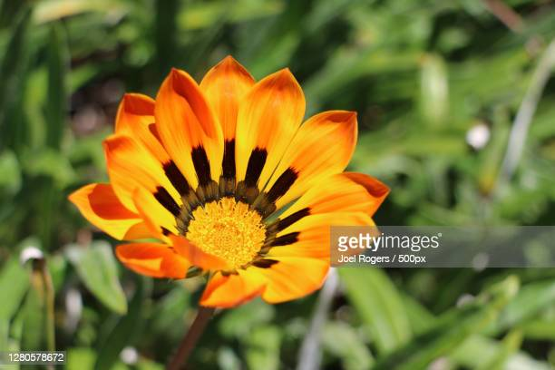 close-up of orange flower - joel rogers stock pictures, royalty-free photos & images