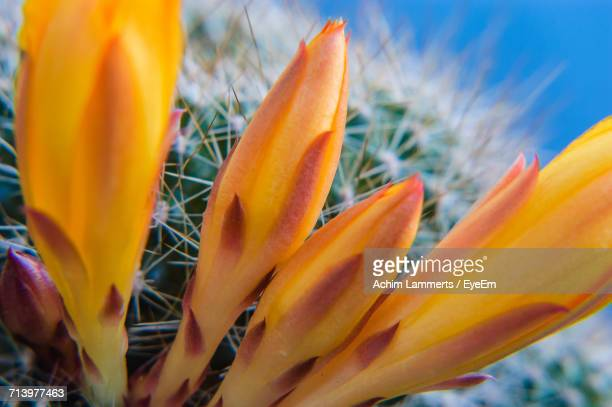 close-up of orange flower - achim lammerts stock-fotos und bilder