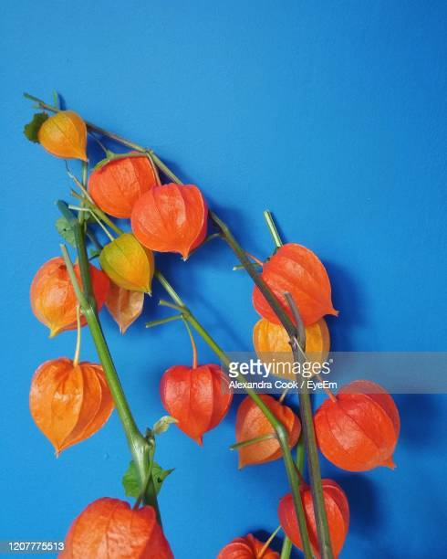 close-up of orange flowering plant against blue wall - chinese lantern lily stock pictures, royalty-free photos & images