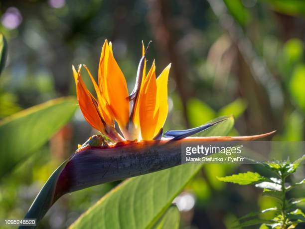 close-up of orange flowering plant - marek stefunko - fotografias e filmes do acervo