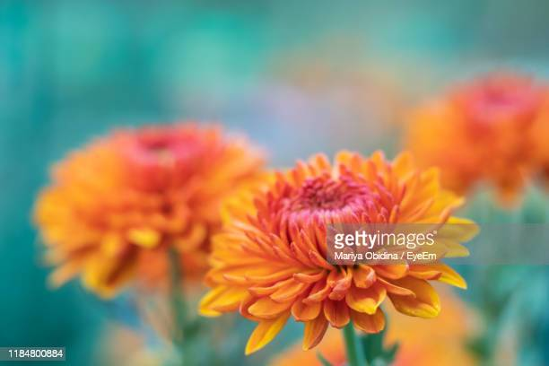close-up of orange flowering plant - chrysanthemum stock pictures, royalty-free photos & images