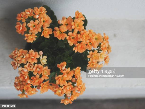 close-up of orange flowering plant - lantana stock pictures, royalty-free photos & images