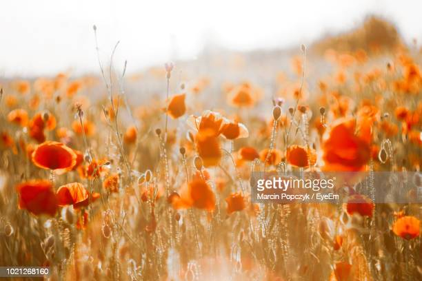 close-up of orange flowering plants on field - orange flower stock pictures, royalty-free photos & images