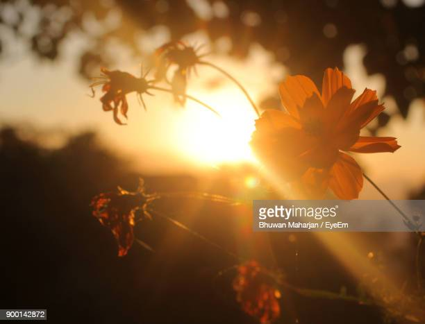 Close-Up Of Orange Flowers Against Sky During Sunset