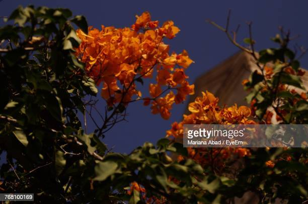 close-up of orange flowers blooming against clear sky - mariana abad fotografías e imágenes de stock