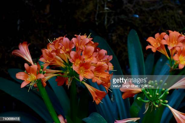 close-up of orange flowers blooming outdoors - sikkim stock pictures, royalty-free photos & images