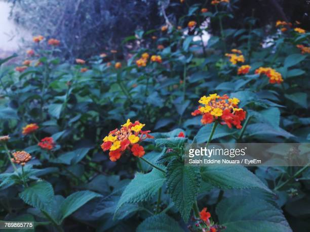 close-up of orange flowers blooming outdoors - salah stock photos and pictures