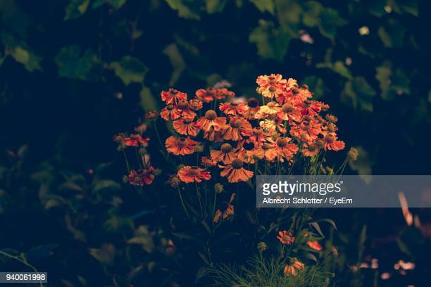 close-up of orange flowers blooming outdoors - albrecht schlotter foto e immagini stock