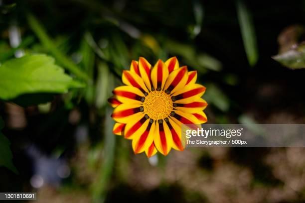 close-up of orange flower,solan,himachal pradesh,india - the storygrapher foto e immagini stock