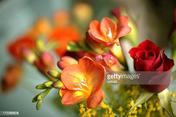 close-up of orange freesias and red rose - freesia stock pictures, royalty-free photos & images