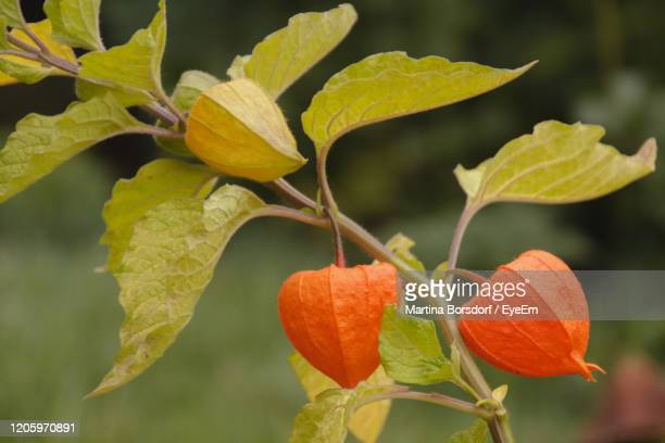 close-up of orange fruit on tree - chinese lantern lily stock pictures, royalty-free photos & images