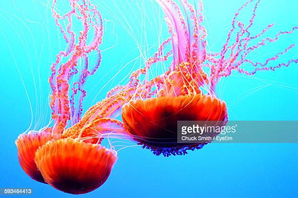 close-up of orange jellyfishes swimming underwater - three animals stock pictures, royalty-free photos & images