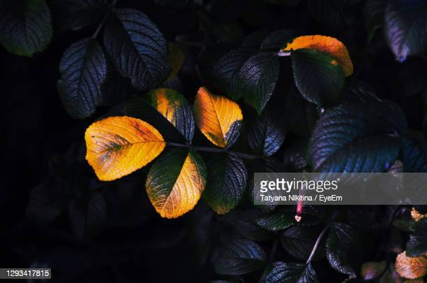 close-up of orange leaves on plant in autumn - nikitina stock pictures, royalty-free photos & images