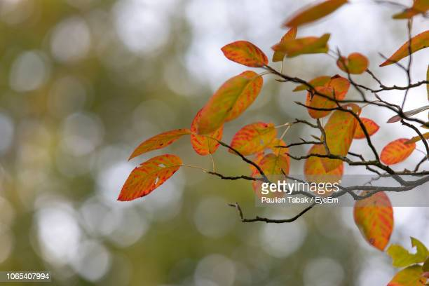 close-up of orange leaves on tree during autumn - paulien tabak 個照片及圖片檔
