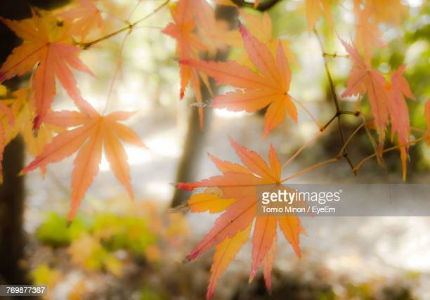 Close-Up Of Orange Maple Leaf During Autumn
