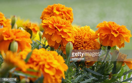 15 510 Marigold Photos And Premium High Res Pictures Getty Images