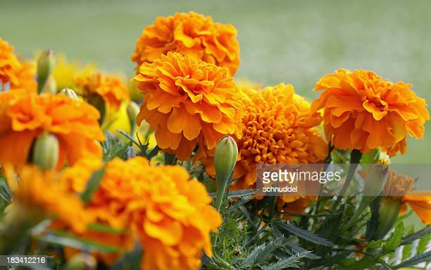 Closeup of orange marigold flowers and foliage