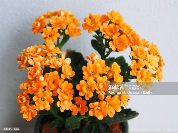close-up of orange marigold flowers - lantana stock pictures, royalty-free photos & images