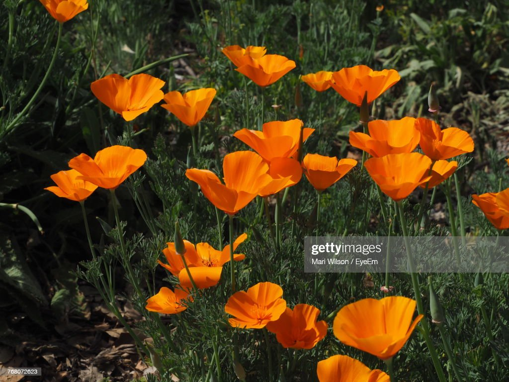 Closeup Of Orange Poppy Flowers Blooming On Field Stock Photo