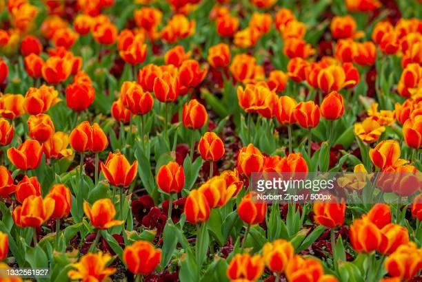 close-up of orange poppy flowers in field,netherlands - norbert zingel stock-fotos und bilder