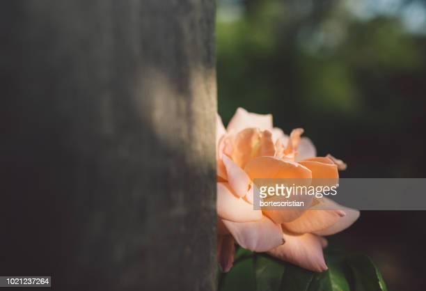 close-up of orange rose flower - bortes - fotografias e filmes do acervo