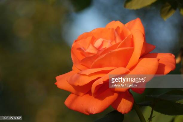 close-up of orange rose flower - ali rose stock-fotos und bilder