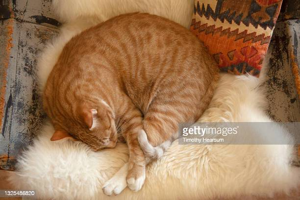 close-up of orange spotted tabby cat with white feet, curled up on a sheepskin seat cover - timothy hearsum stock-fotos und bilder