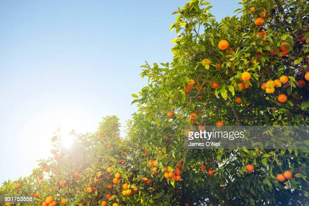 close-up of orange tree - orchard stockfoto's en -beelden