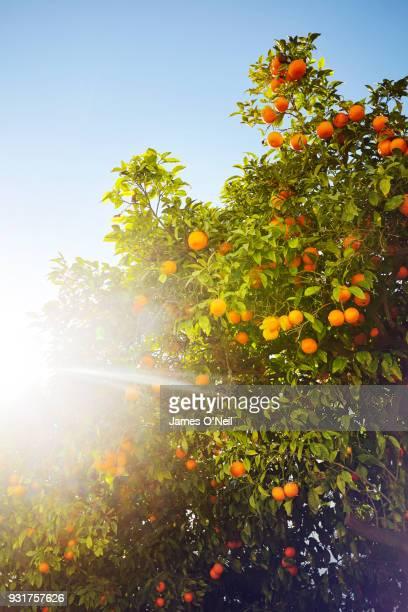 close-up of orange tree - 果樹園 ストックフォトと画像