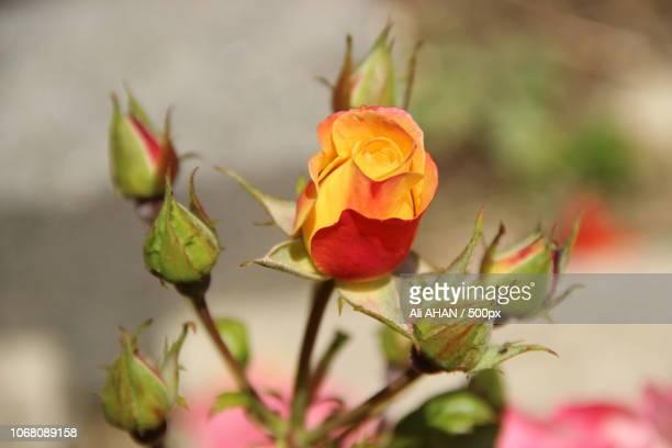 Close-up of orange-colored rose